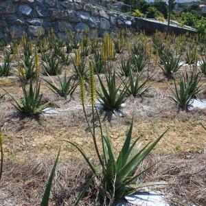 アロエベラの畑
